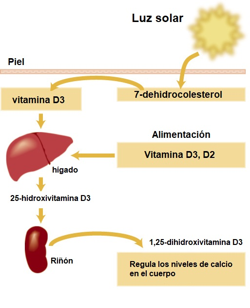 síntesis de la vitamina D
